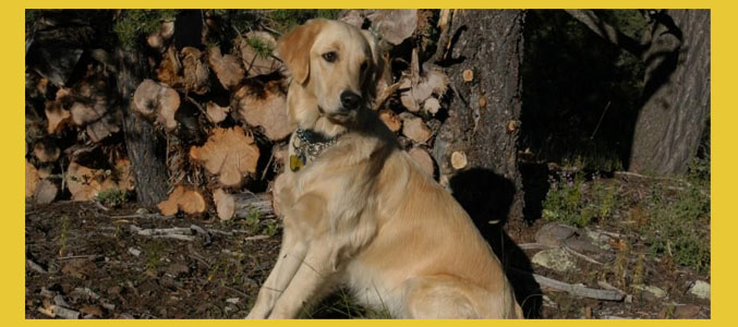 Southern Arizona Golden Retriever Rescue